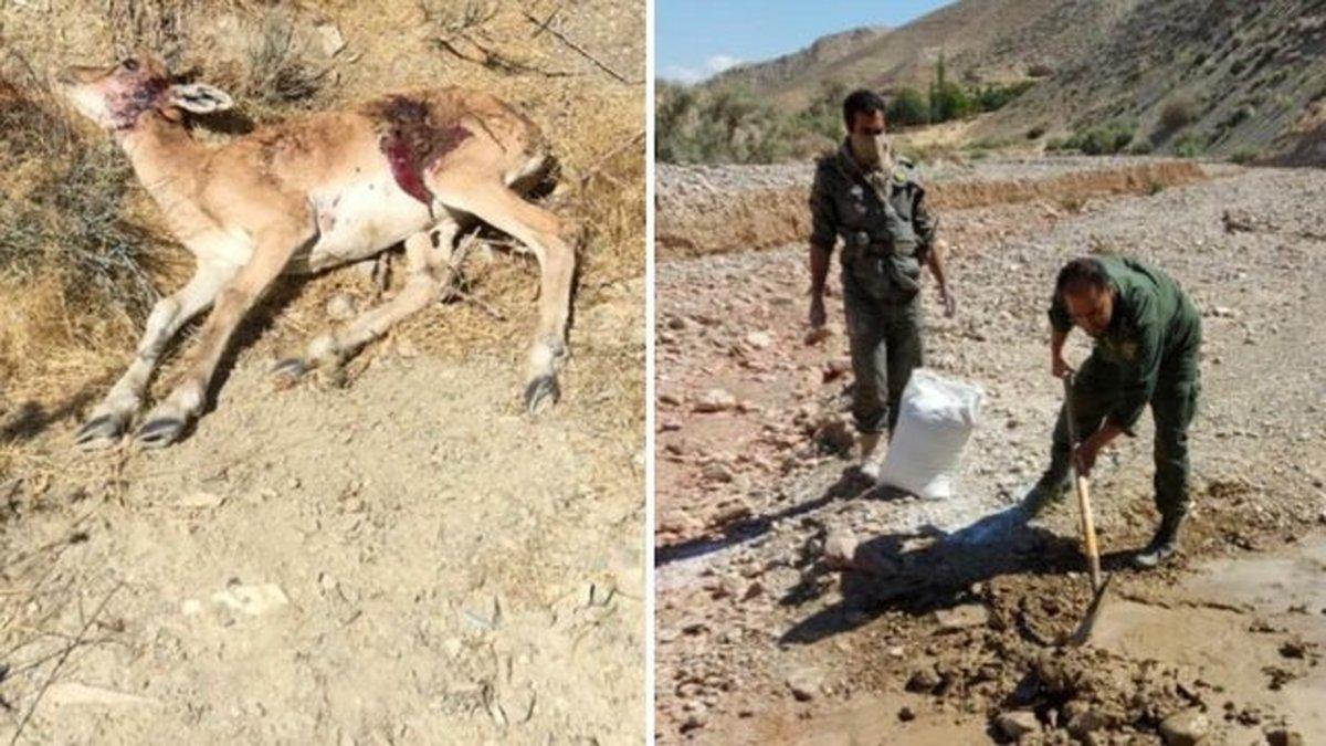 احتمال ابتلای حیات وحش تلف شده در دماوند به طاعون نشخوارکنندگان کوچک
