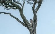 عکسی دیدنی از یک زرافه در حیات وحش کنیا