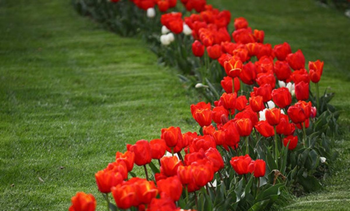 تصاویر لذت بخش از جشنواره گل لاله در کرج| جشنواره گل لاله در کرج تا کی ادامه دارد؟