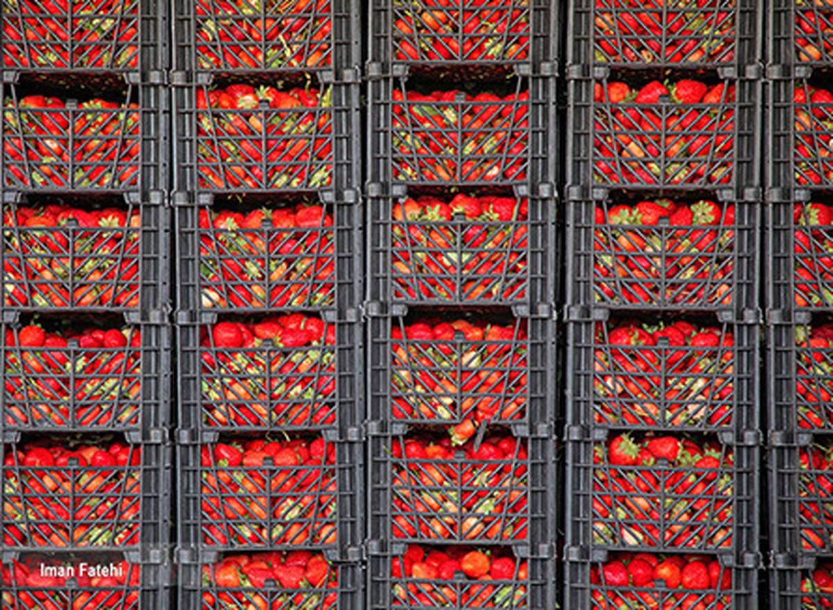 توت فرنگی هایی که به بار نشستند+عکس| تصاویر فوق العاده از برداشت توت فرنگی در کردستان