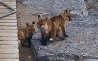 خانواده ای از روباه ها در تورنتو محبوبیت عجیبی پیدا کردند.