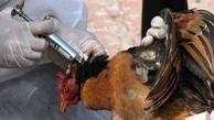 مهار آنفولانزای فوقحاد پرندگان در خراسانجنوبی