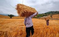 افزایش قیمت خودسرانه گندم پای وزیر جهاد را به مجلس باز کرد  چرا دولت خودسرانه قیمت گندم را افزایش داد؟