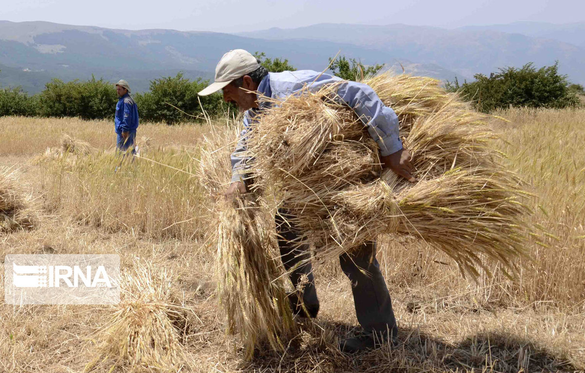 ایران در تولید بذر غلات خودکفا است