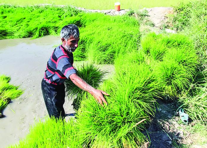 افزایش کشت برنج در بحران معیشت و آب | چالش واردات برنج با ارز ترجیحی