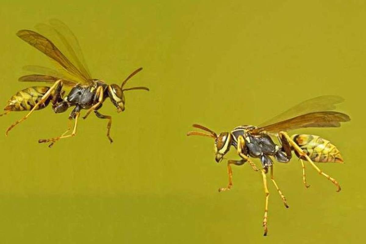 زنبورهای کاغذی از توانایی استدلال برخوردار هستند