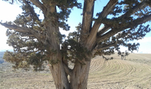 ثبت ملی درخت زیبای ارس