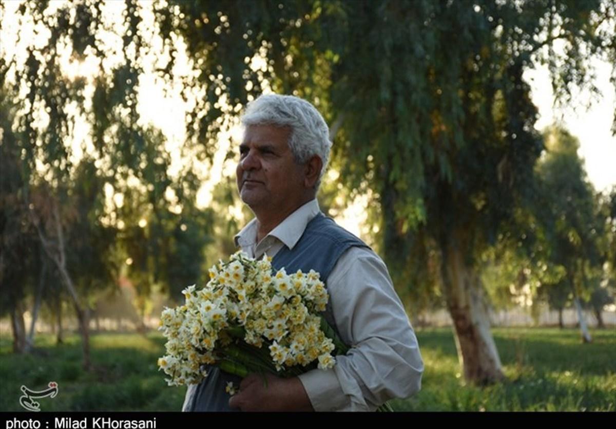خوزستان| برداشت گل نرگس بهبهان از دریچه لنز دوربین