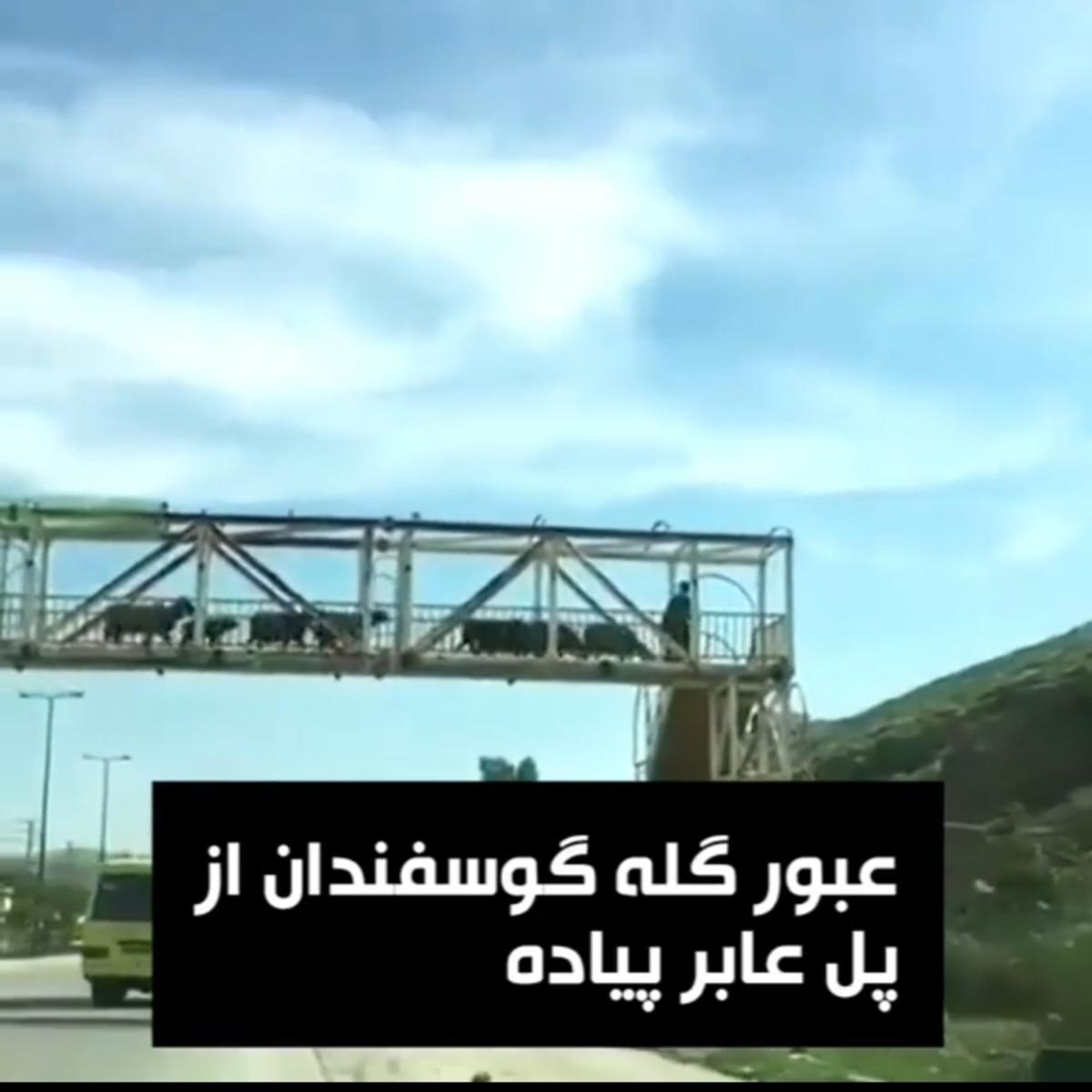 عبور گله گوسفندان از پل عابر پیاده + ویدئو