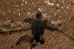 بچه لاکپشتهای پوزه عقابی راهی خلیج فارس شدند.