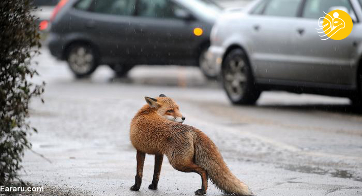 یک روباه ۱۰۰ جوره کفش را در برلین به سرقت برد+عکس