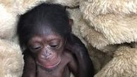 انتقال به دنیای میمونها، راه نجات باران | سرپرست شامپانزه ارم به صورت شبانهروزی در باغوحش مستقر شد