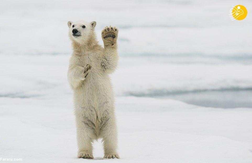 بچه خرس قطبی روی پاهایش ایستاد!+ عکس