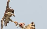 درگیری دو شاهین بر سر یک کبوتر