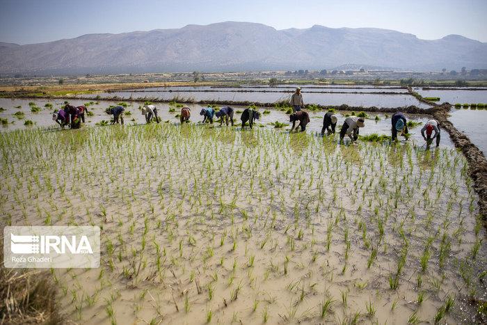 معاون وزیر نیرو: کاشت برنج در ۱۷ استان فاجعه است