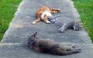 چه کسانی در معرض ابتلا به بیماریهای منتقله از گربه هستند؟