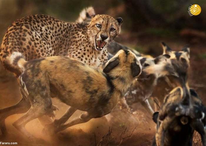 تصاویر برگزیده مسابقه عکاسی حیات وحش