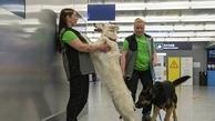 سگ های کرونایاب       سگها یک بار دیگر برای کمک به ما انسان ها به میدان آمده اند