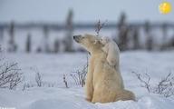 بازیگوشی تولههای خرس قطبی در سرمای منفی ۴۰ درجه