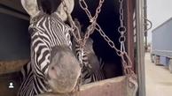 سازمان محیط زیست: گورخر آفریقایی با مجوز قانونی وارد شد