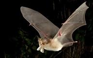 افزایش خطر خفاش های ناقلِ بیماری برای انسان