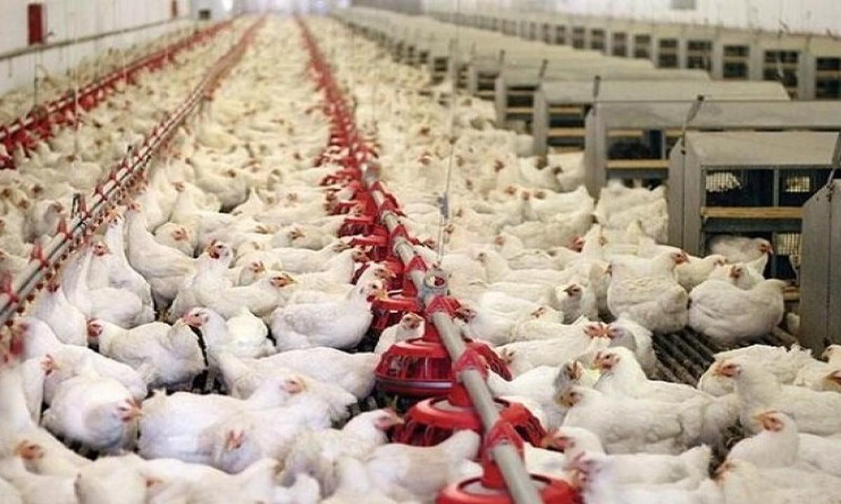 بحران قطعی برق تولید مرغ را با مشکل مواجه کرد  چرا تولید مرغ تحت تاثیر قطعی برق است؟!