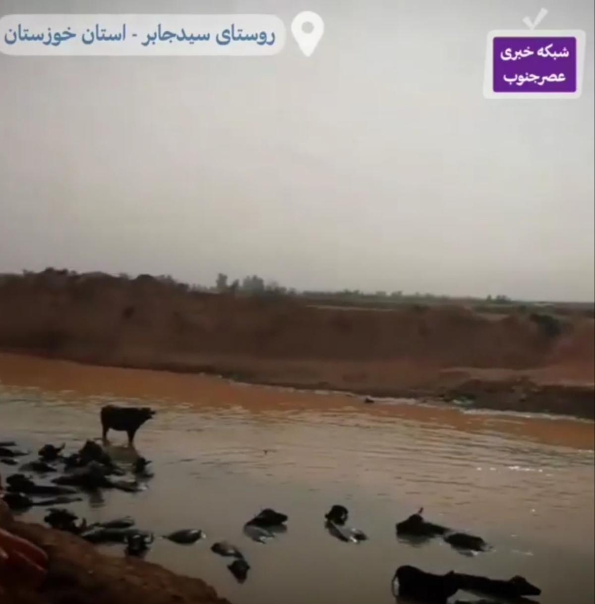 بیماری و تلف شدن گاومیش های خوزستان درپی کمبود آب + ویدئو