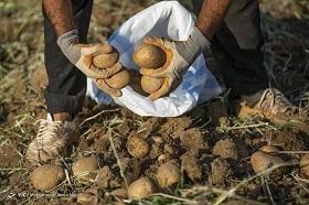 خرید حمایتی ۵۶۰۰ تن سیب زمینی از کشاورزان