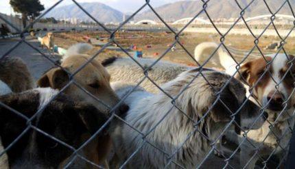 عضو شورای شهر تهران: در زمینه ساماندهی سگها منتظر خبرهای خوب باشید