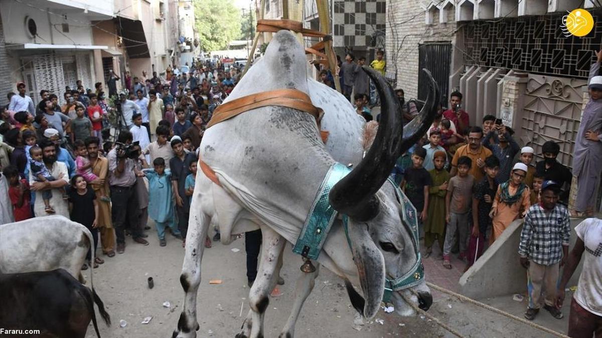 پرورش گاوها روی پشت بام! +عکس
