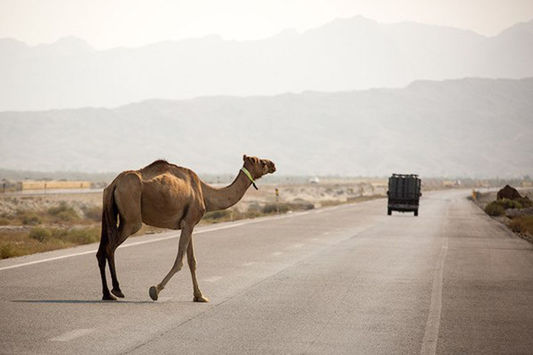 دستور فوری دادگستری هرمزگان برای جمع آوری شترهای سرگردان