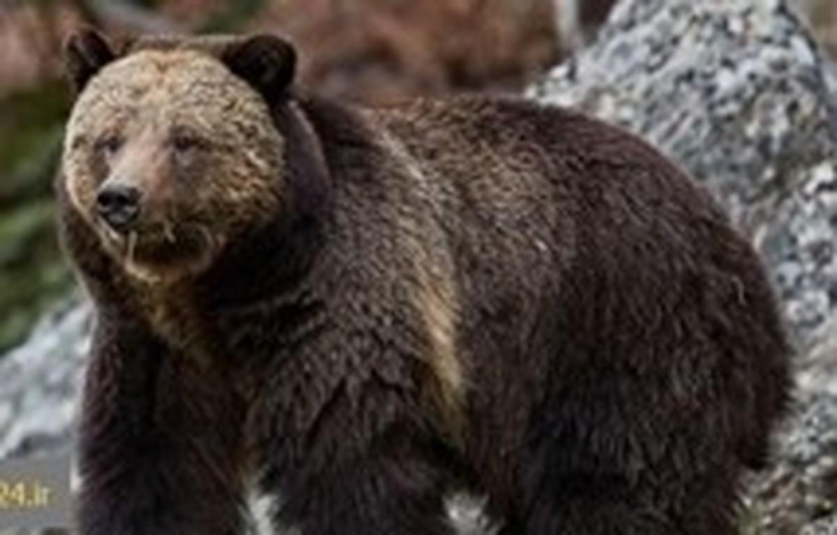 خرس قهوه ای یکی از اهالی ورزقان را جوید