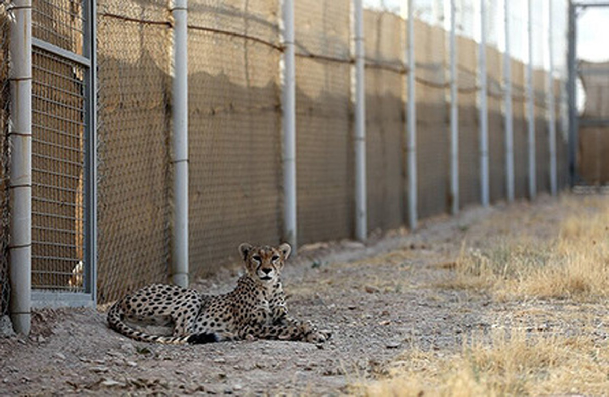 محیط زیست سمنان خبر یوزپلنگ ربایی را مخفی کرده است| بیش از 14 روز از زنده گیری مخفیانه یوزپلنگ نر گذشته است