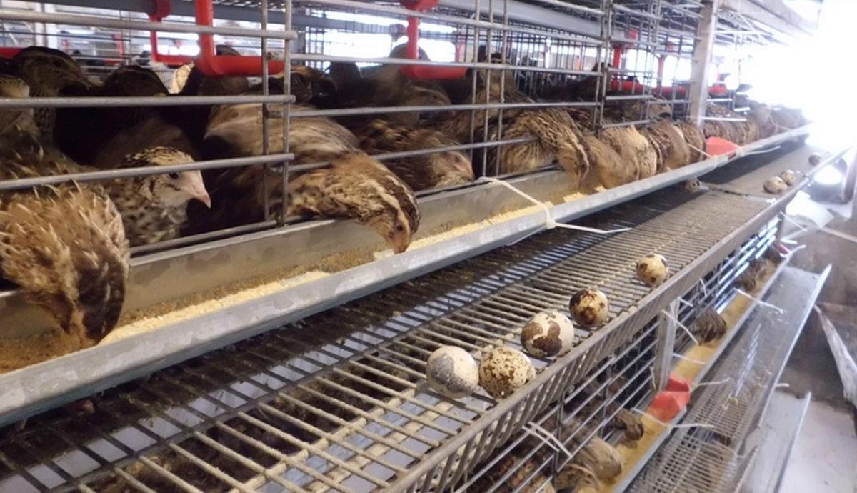 بلدرچین در بازار کمیاب شد   یک کیلو بلدرچین همقیمت ۵ کیلو مرغ