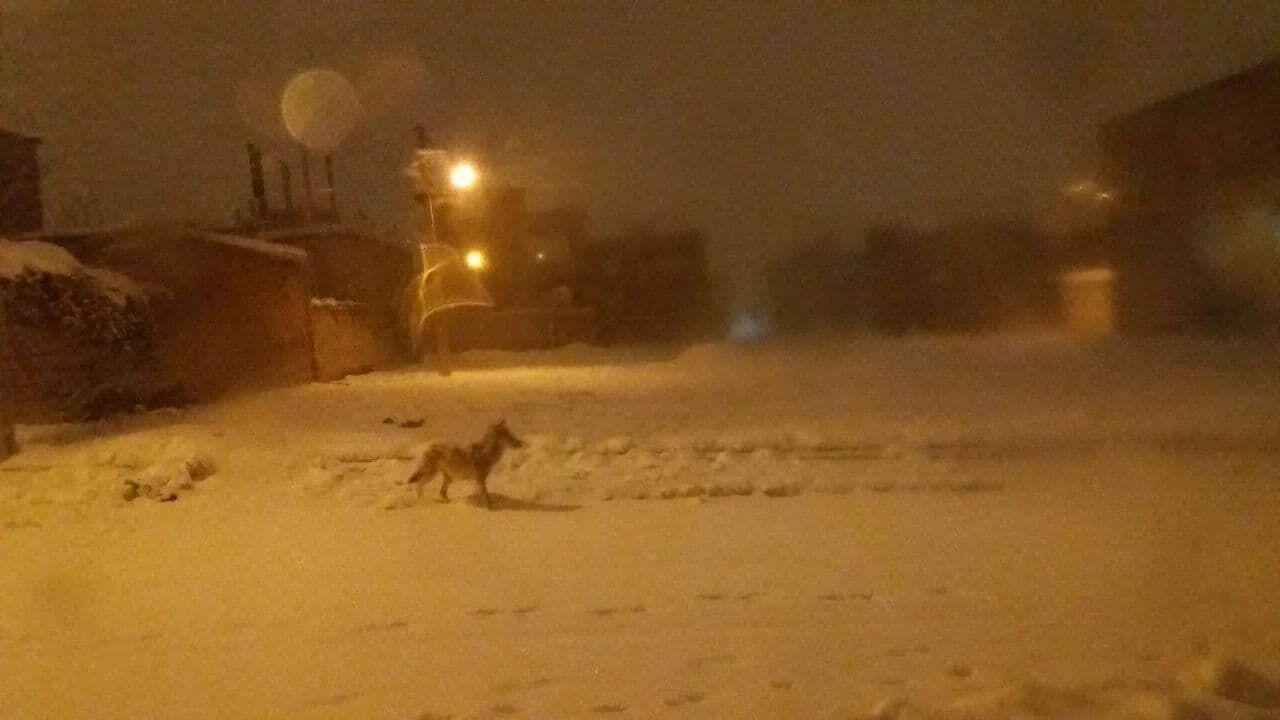 سقزی ها مراقب باشند/ حضور گرگها در شهر سقز کردستان