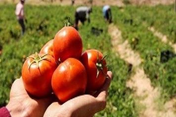 خرید حمایتی گوجهفرنگی از فردا در جنوب کرمان آغاز میشود