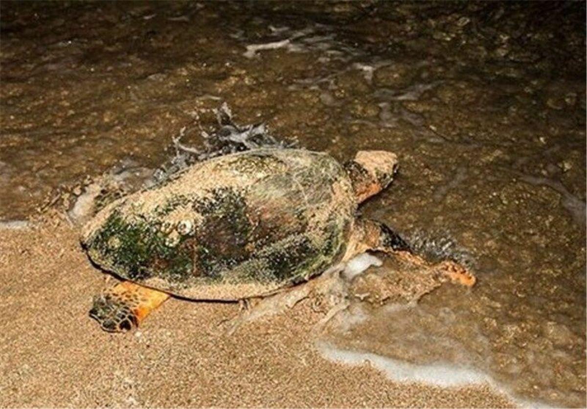 ممنوعیت ورود به ساحل پارک ملی نایبند بوشهر به دلیل لاک پشت ها