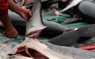نسلکشی کوسهها در خلیجفارس!