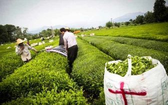 ۷۷ درصد مطالبات چایکاران پرداخت شد| پیش بینی تولید ۱۳۵ هزار تن برگ سبز چای
