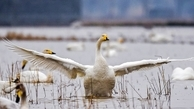 افزایش مرگ پرندگان    ورود به میانکاله ممنوع شد