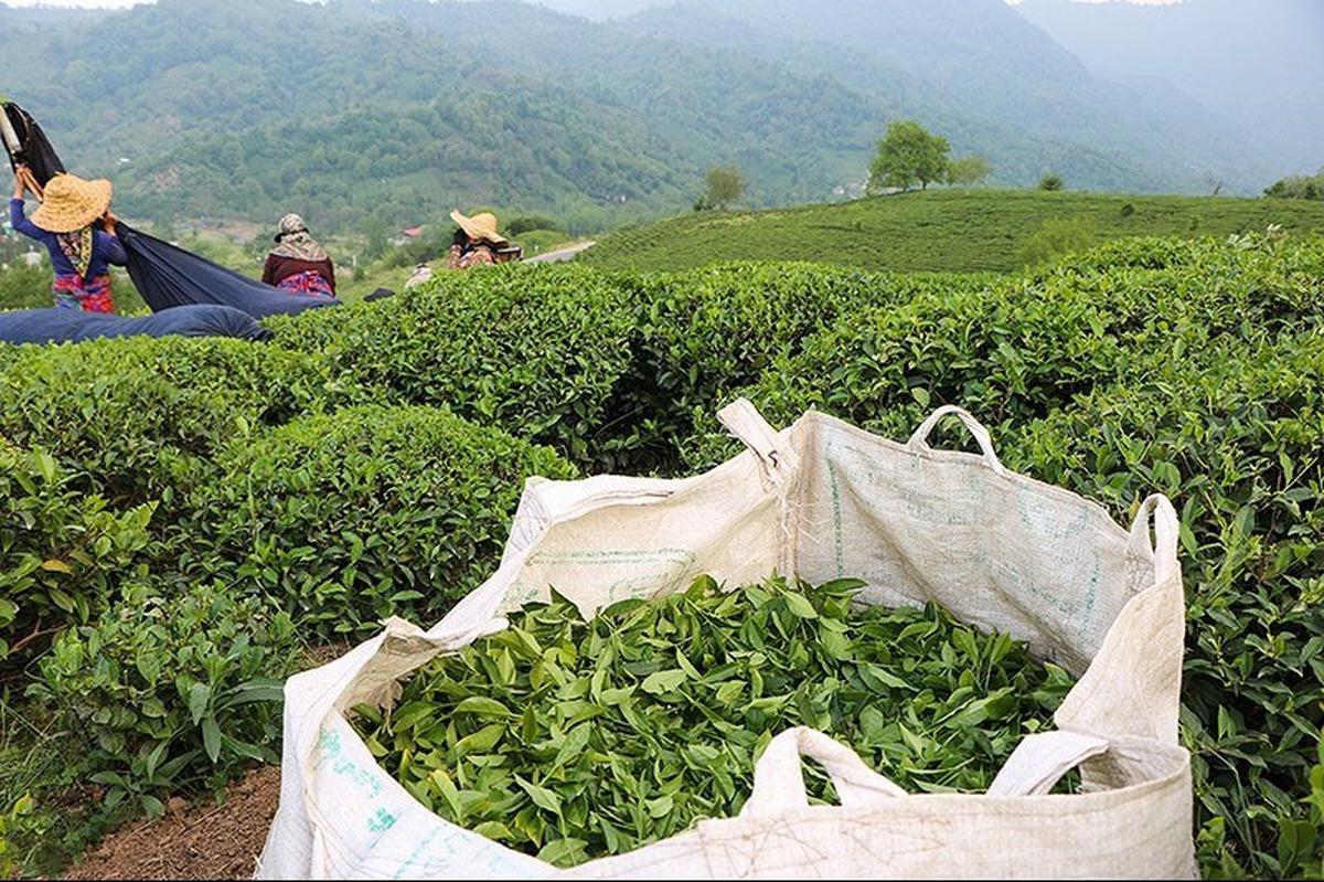 برداشت چین تابستانه چای به پایان رسید   پرداخت ۷۶ درصد مطالبات چایکاران