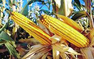 تغییر ژنتیکی محصولات نباید اولویت برای تولید غذا باشد