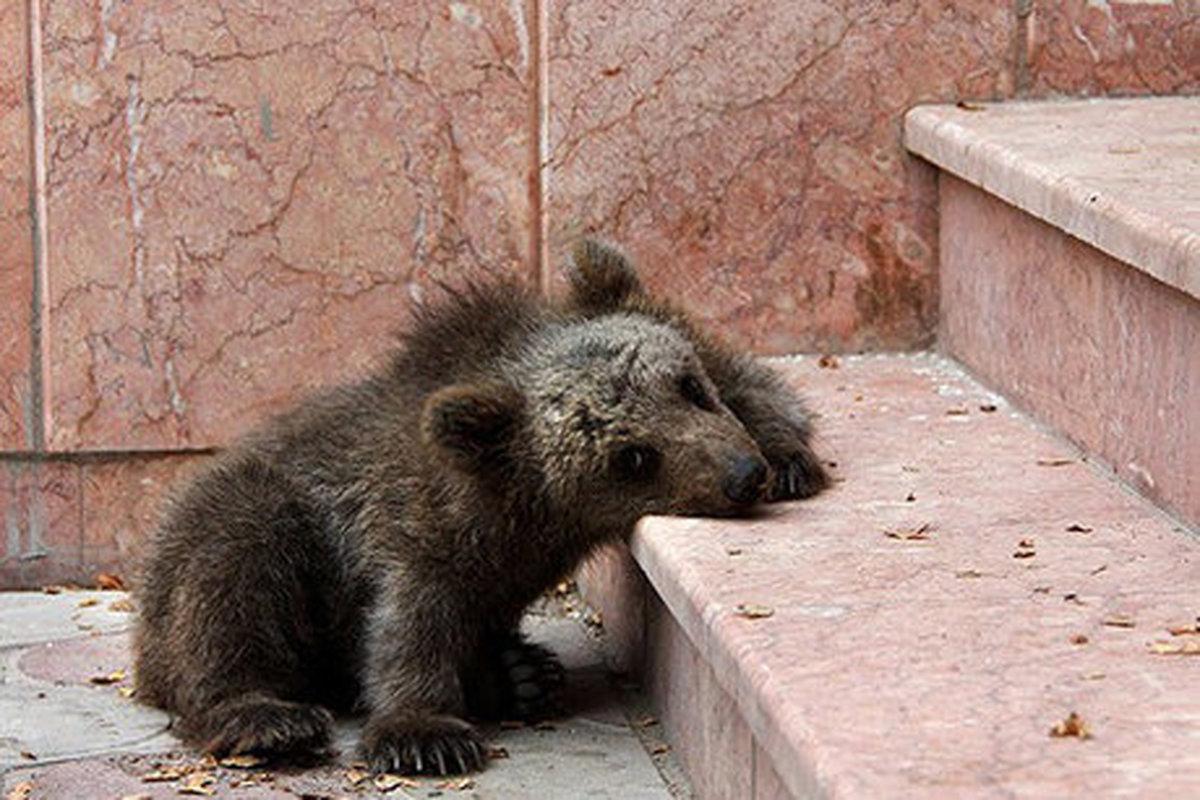 مسئول پارک ملی گلستان درباره مرگ توله خرس اطلاعات نادرست داده بود